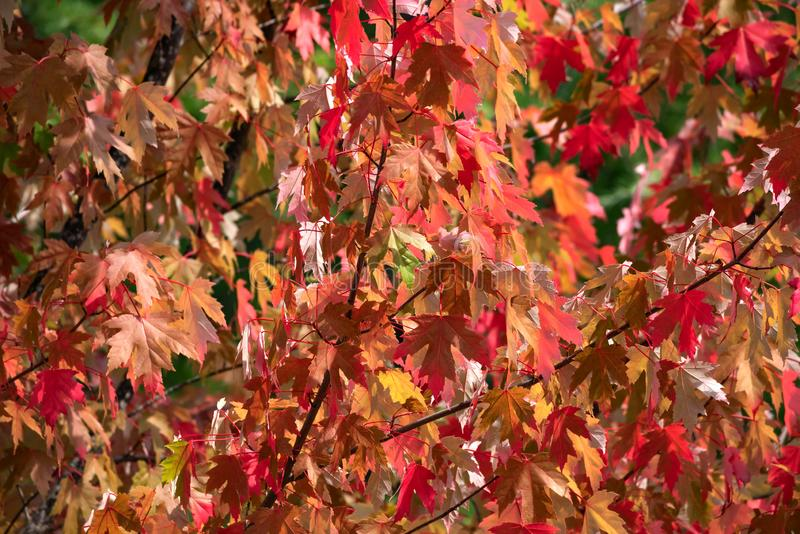 Summer`s Season Ends. Red leaves of Autumn on a sunny day royalty free stock photography