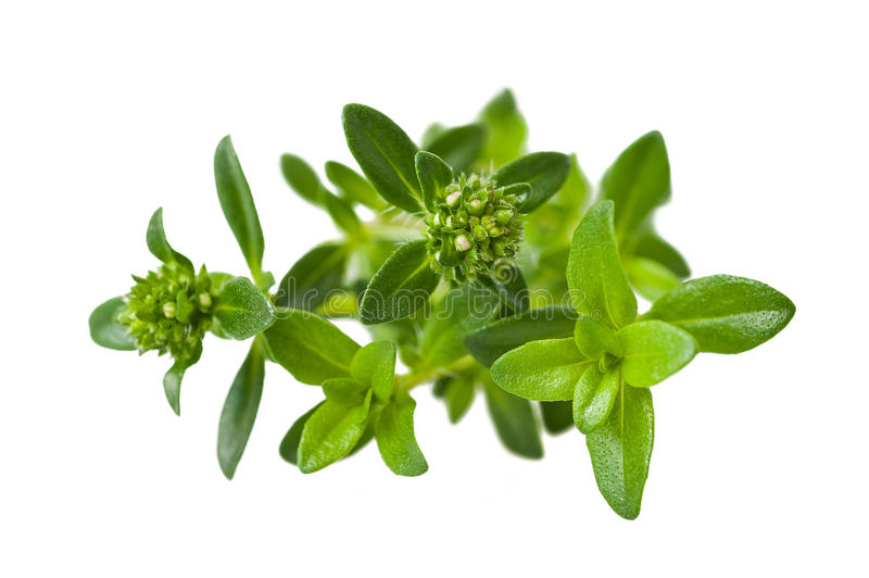 Summer savory. Sprig isolated on white royalty free stock image