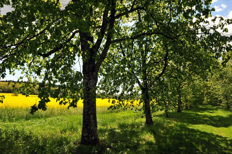 Summer Scene with Alley and Yellow Field royalty free stock photography
