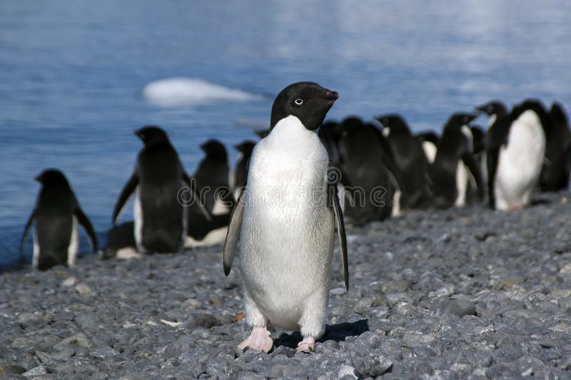 Adelie penguin on beach with water in background. Summer scene on beach at Brown Bluff, Antarctica stock photography