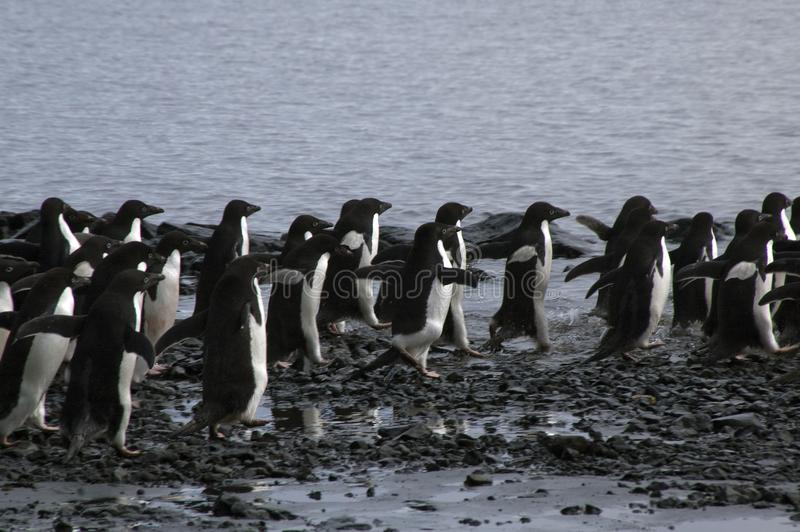 Group of adelie penguins running on pebble beach. Summer scene on beach at Devil Island, Antarctica stock photo