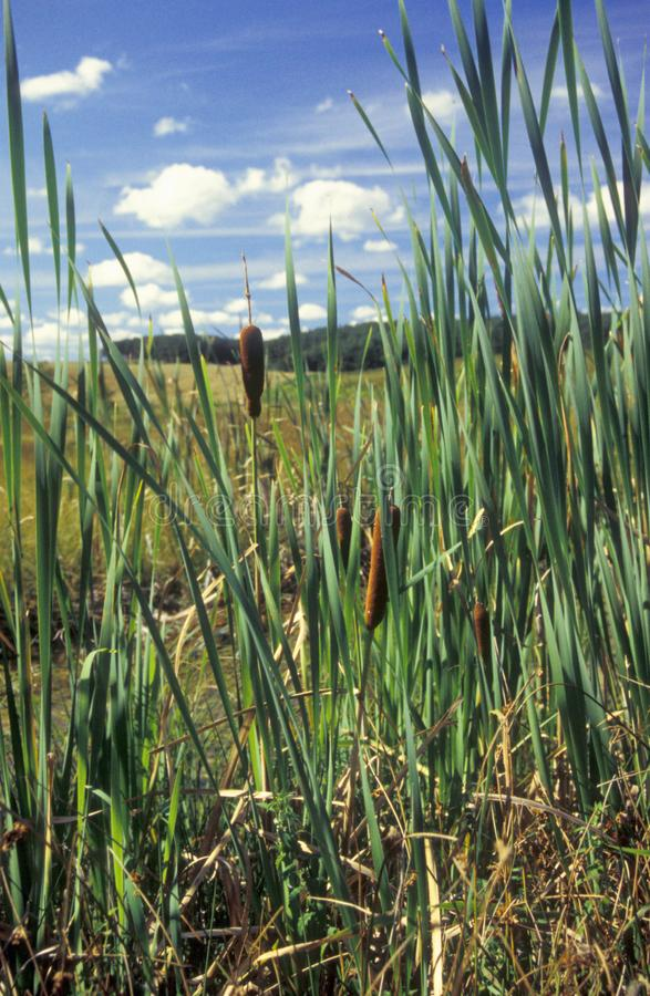 Summer scene with cattail plants sorrounded by meadows stock images