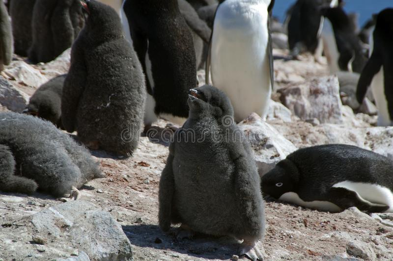 Adelie penguin fledgling in rookery. Summer scene in penguin colony at Devil Island, Antarctica stock photo