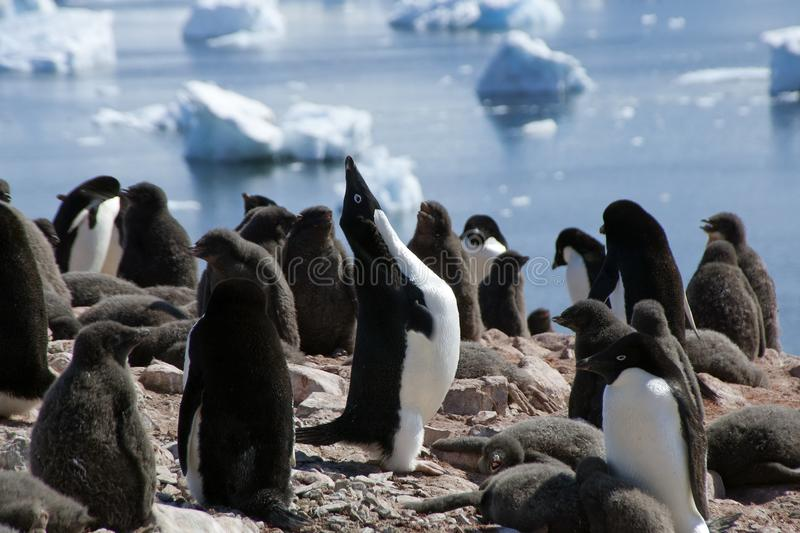 Adelie penguin squawking in colony. Summer scene in penguin colony at Devil Island, Antarctica royalty free stock images