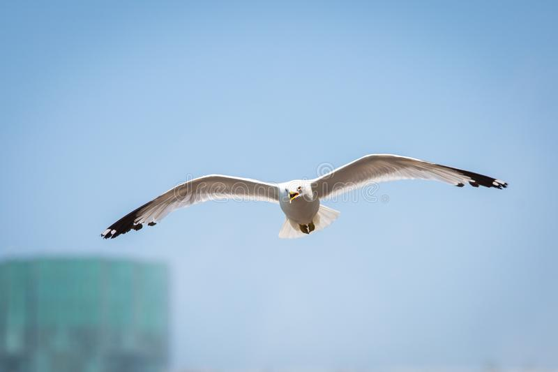 Summer seagull flying in the sky at day stock photography