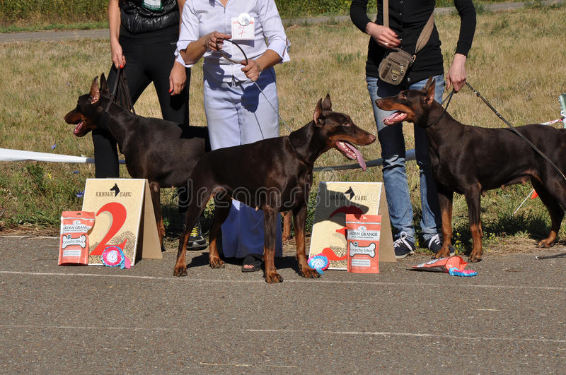 Download Summer show dog editorial stock photo. Image of exposition - 34434623
