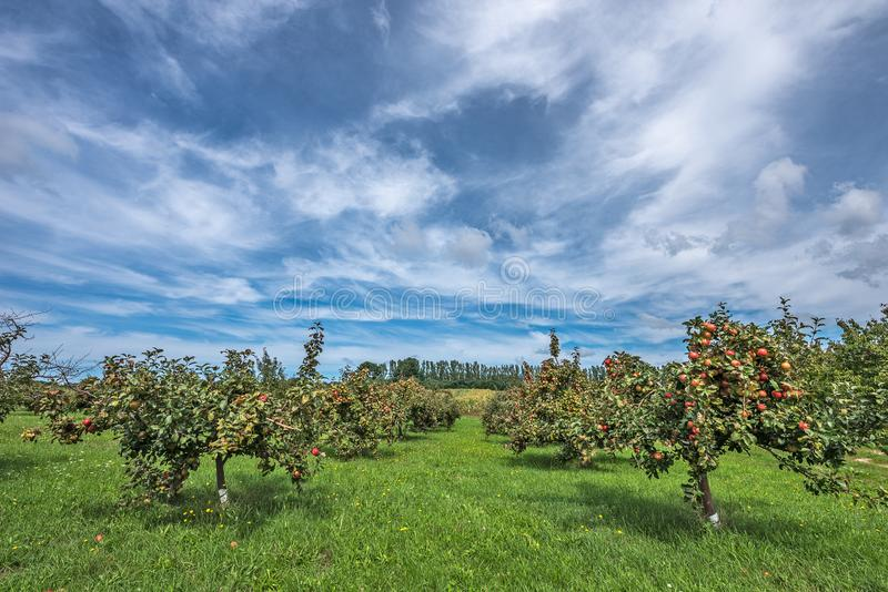 Summer Sky Over an Apple Orchard stock photography
