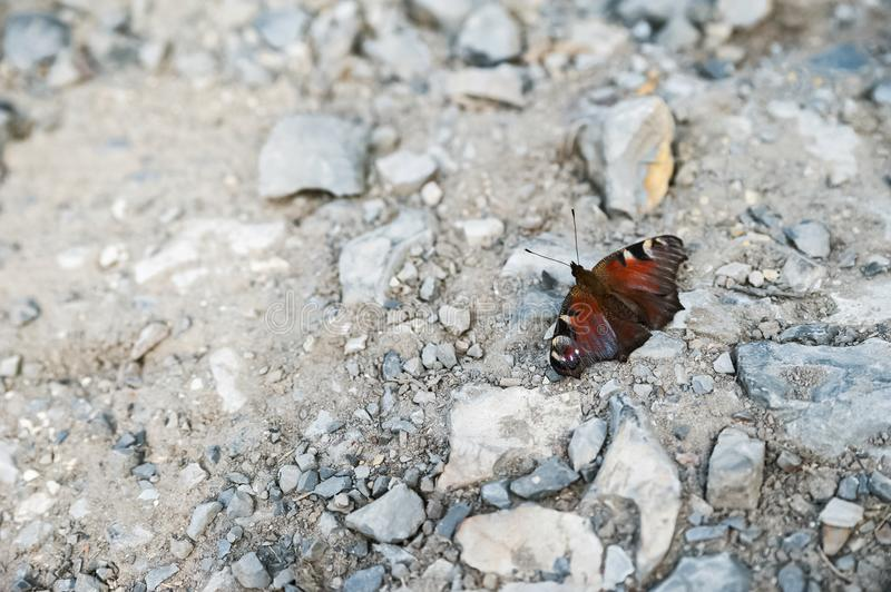 Summer and spring photo of a butterfly on a rocky ground. Beautiful multi-colored butterfly macro as background for your royalty free stock photos