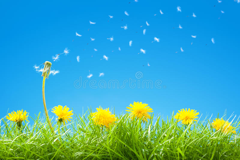 Summer / Spring Scene with Green Grass and Clear Blue Sky - Flying Dandelion Seeds royalty free stock photo