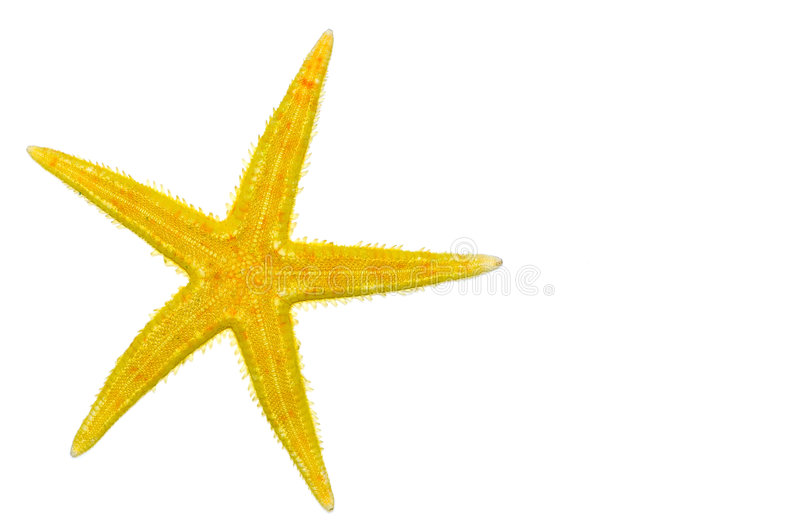 Summer starfish. Warm color starfish isolated on a white background royalty free stock photo
