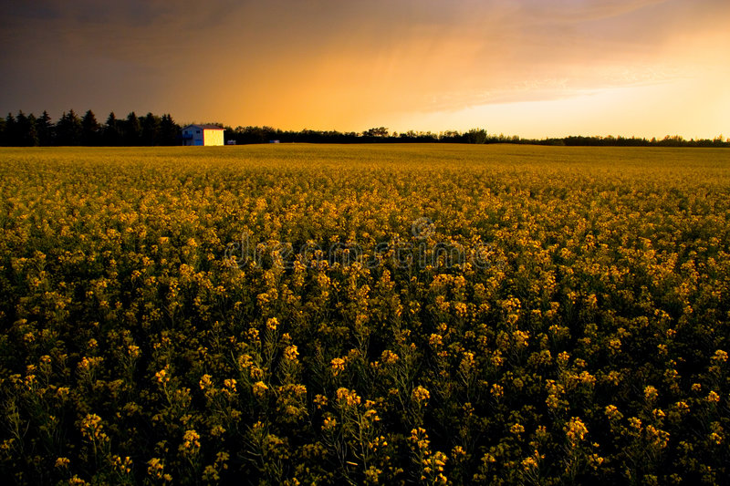 Download Summer Storm stock image. Image of rural, canola, outdoors - 502201