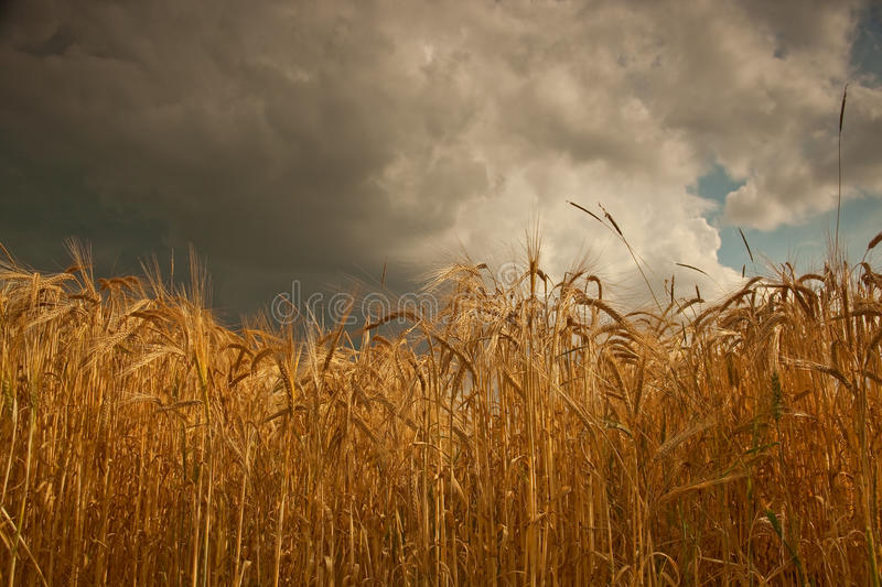Summer storm clouds over barley crop in Lincolnshire,England. Barley is a cereal crop grown for use in animal feed, food production,and for malting to be used stock photos