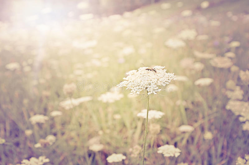 Summer Sun. Field of Queen Anne Lace in summer sun stock photography