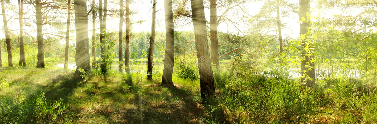 Summer. Sun in pine forest stock photo