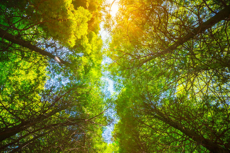 Summer Sun Shining Through Canopy Of Tall Trees. Upper Branches Of Tree. Sunlight Through Green Tree Crown - Low Angle View royalty free stock image