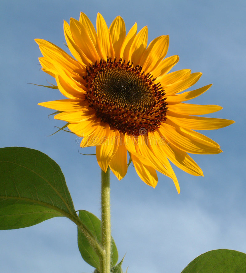 Summer Sunflower stock photography