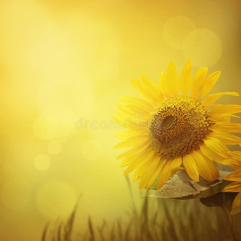 Summer sunflower background royalty free stock photos