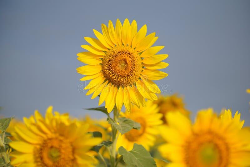 Summer sunflower field royalty free stock image