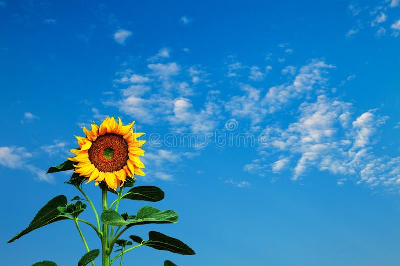 Summer Sunflower and Sky stock image