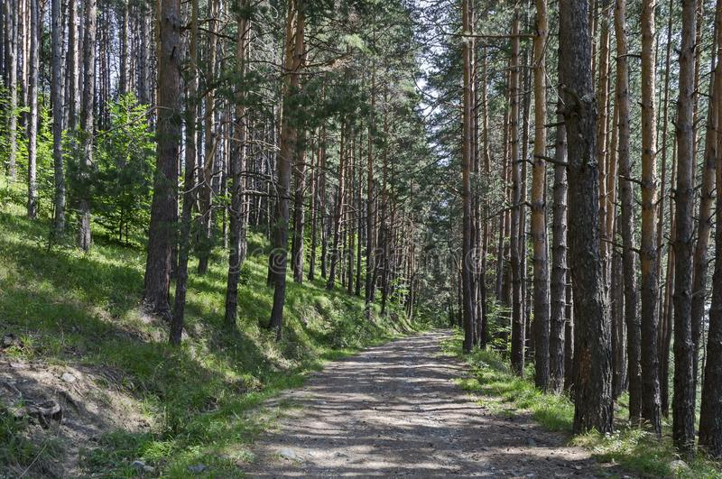 Summer sunlit forest pine-trees with ecological path, Vitosha mountain. Bulgaria stock image