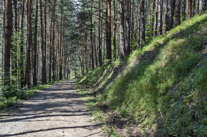 Summer sunlit forest pine-trees with ecological path, Vitosha mountain. Summer sunlit forest pine trees with ecological path, Vitosha mountain, Bulgaria royalty free stock photo