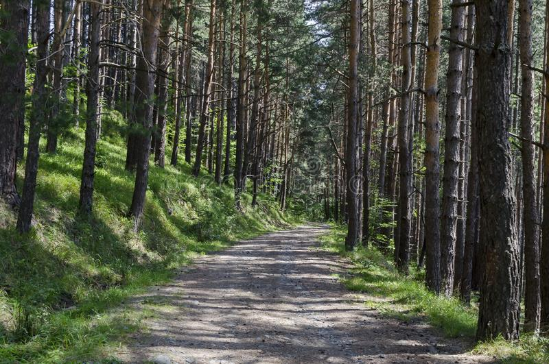 Summer sunlit forest pine-trees with ecological path, Vitosha mountain. Summer sunlit forest pine trees with ecological path, Vitosha mountain, Bulgaria stock photo