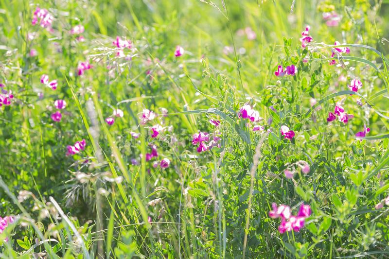 Summer sunny botanical natural floral background with green grass and blooming flowers in the meadow royalty free stock photography