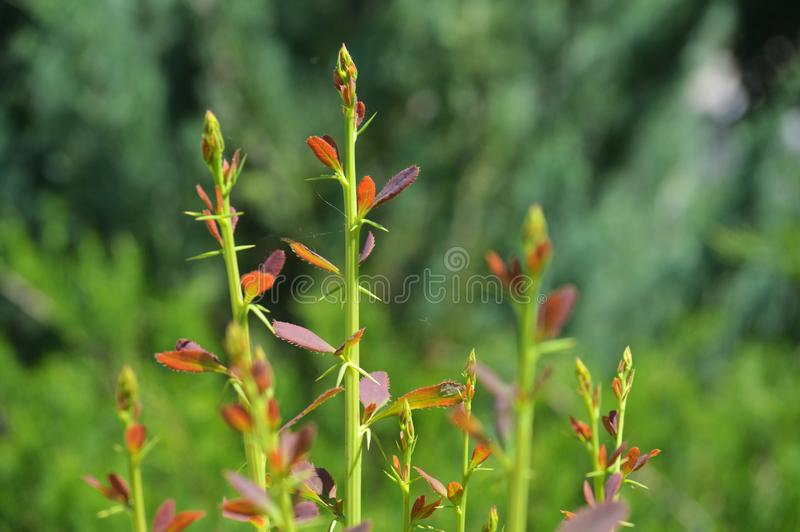 Cute twigs of rose bush in the garden. stock images