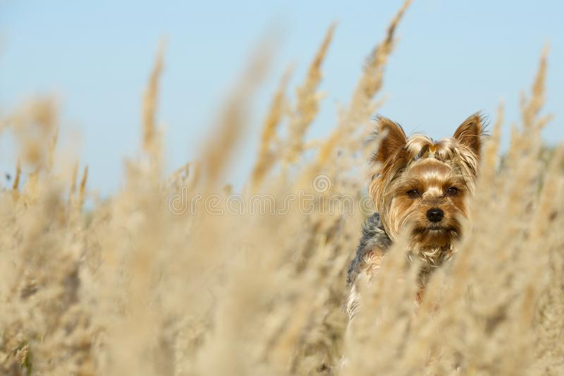 A small dog breed toy terrier hiding in the fields among the tall grass. Wind. Yorkshire Terrier dog peeps from tall grass. Sunny weather, summer. Only the dog royalty free stock photo