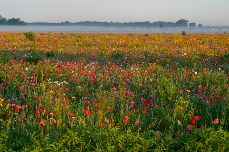 Summer sunrise over the poppy field in Bad Ax, Michigan stock photography