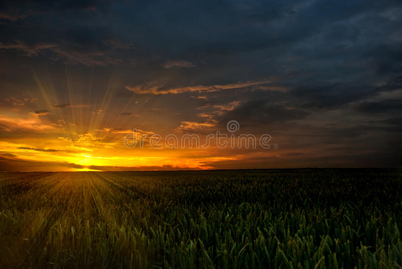 Download Summer sunset stock image. Image of stems, summer, field - 14855353
