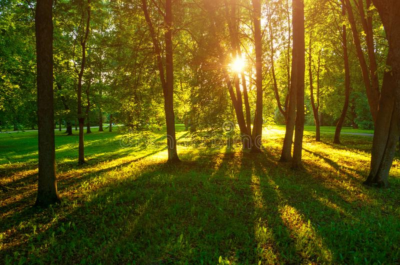 Summer sunset landscape - park trees with grass on the foreground and sunlight shining through the trees. Summer sunset landscape - trees with grass on the stock photos