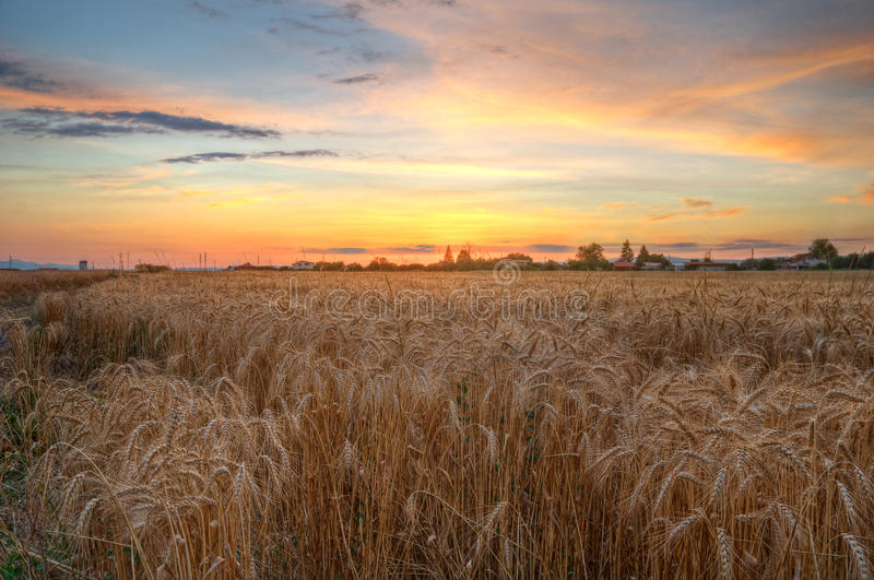 Summer sunset with wheat field. Beautiful warm colors in the sky and ripe ears of corn in front of the picture stock images