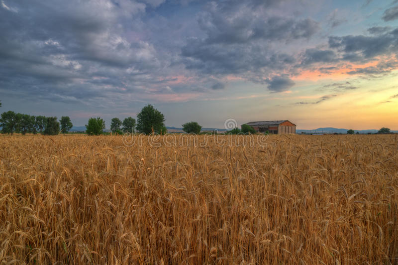 Summer sunset with wheat field. Beautiful warm colors in the sky and ripe ears of corn in front of the picture stock photography