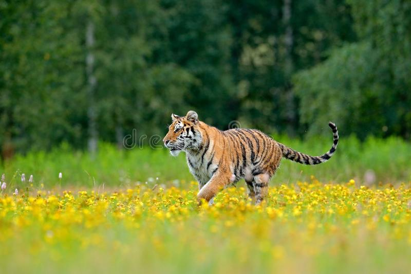 Summer with tiger. Animal walking in bloom. Tiger with yellow flowers. Siberian tiger in beautiful habitat. Amur tiger sitting in stock image