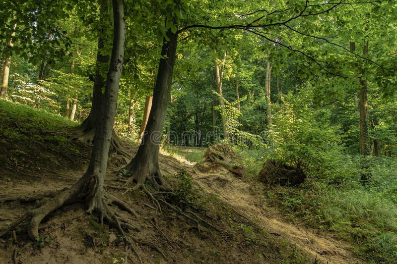 Summer time forest sunny landscape scenic environment green foliage trees. Space royalty free stock photos