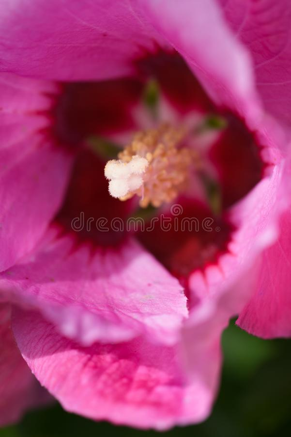 Pink Lotus rose Garden Plant Blooming in white and yellow Detail. Summer time inside of a garden with rhododendron plants bushes in detailed review and stock photography