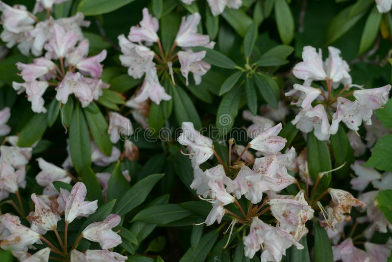 Garden Plant Blooming in white and yellow Detail. Summer time inside of a garden with rhododendron plants bushes in detailed review and documentation royalty free stock image