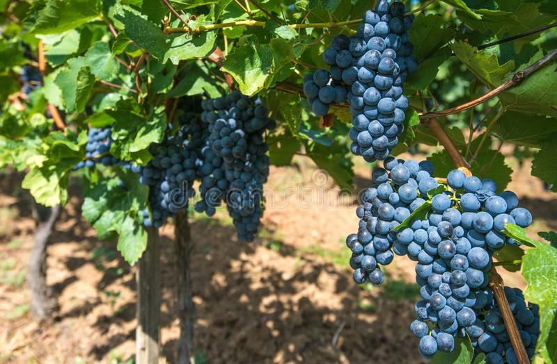 Summer Time Vineyard Grapes royalty free stock image