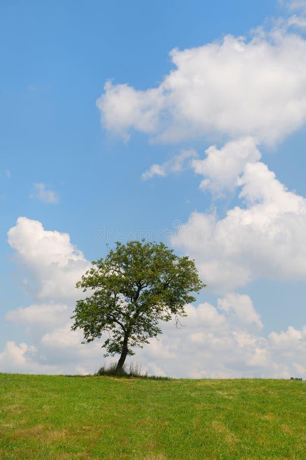 Summer tree in landscape stock image