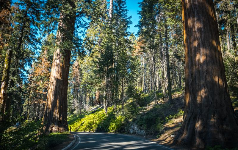 Giant sequoias and picturesque forest highway in the sunny Sequoia National Park. Summer trip to the national nature parks of the USA. Scenic highway through the stock photos