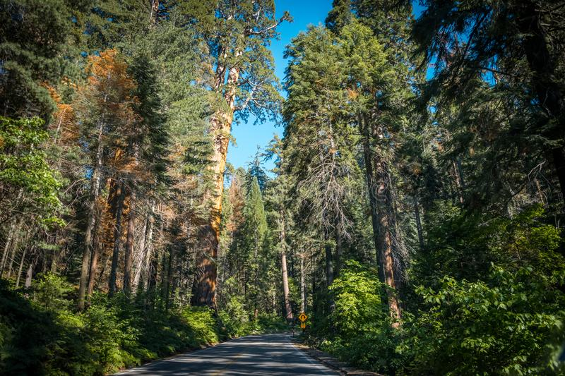 Scenic forest highway in the sunny Sequoia National Park. The nature of California. Summer trip to the national nature parks of the USA. Scenic highway through stock image