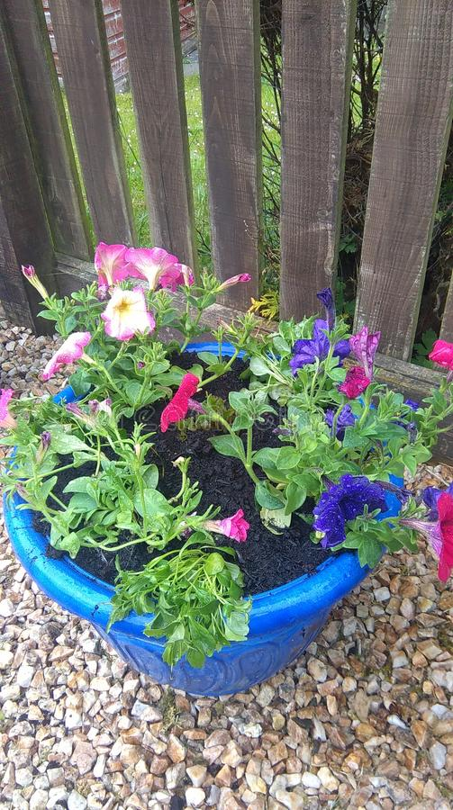 Summer in a tub. Busy lizzies, blue violas stock photo