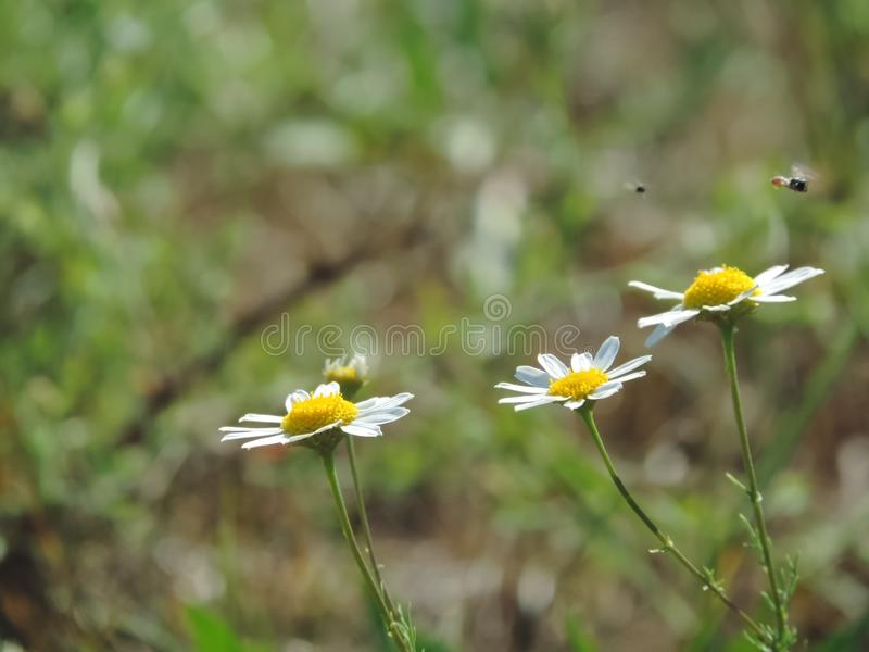 Little flies and camomiles. royalty free stock photography