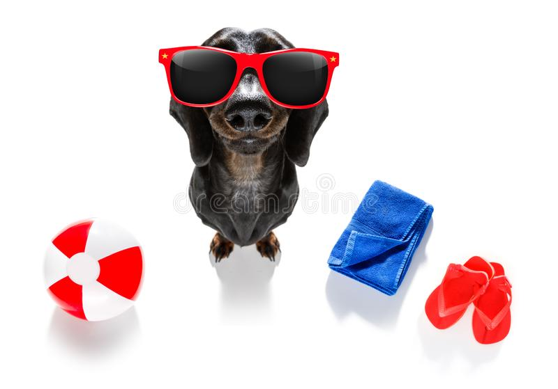 Summer vacation holiday dog. Summer vacation sausage dachshund dog with rubber duck and flip flops, towel wearing sunglasses, isolated on white background stock photos