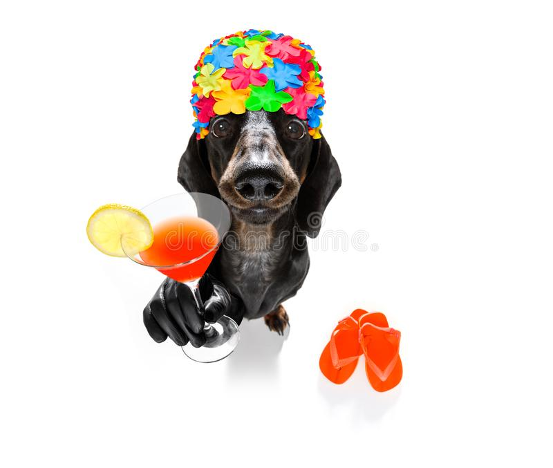 Summer vacation holiday dog. Summer vacation sausage dachshund dog with rubber duck and flip flops wearing bath cap, isolated on white background drinking a stock images