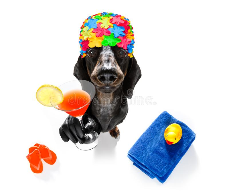 Summer vacation holiday dog. Summer vacation sausage dachshund dog with rubber duck and flip flops wearing bath cap, isolated on white background drinking a royalty free stock images