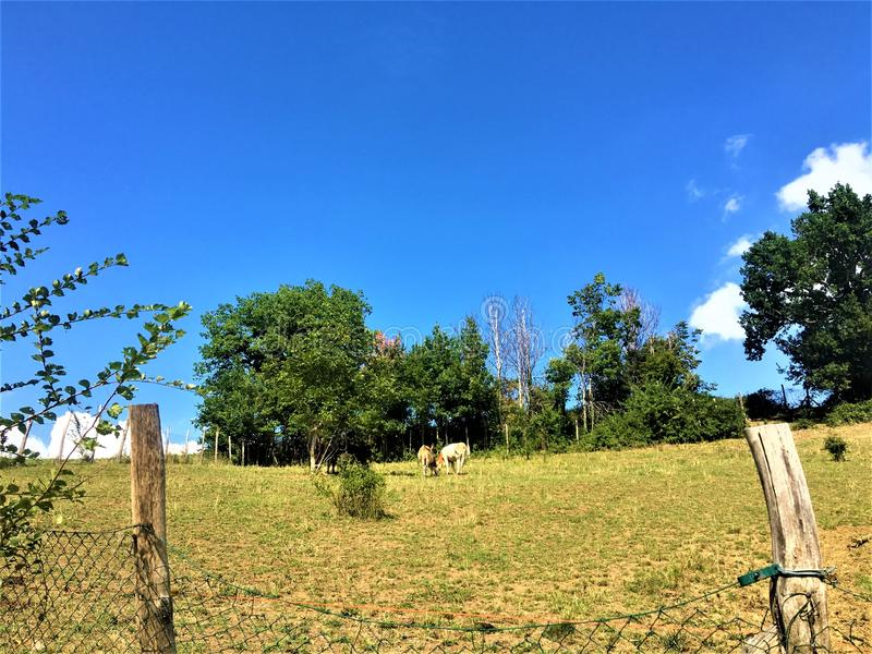 Countryside, free cows, blue sky and sane environment. Summer vacation, sunny day, countryside, blue sky, sane environment, trees, grass, free animals, good stock photos