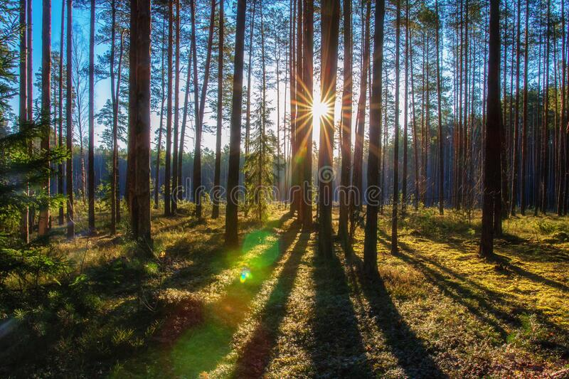 Summer forest in moring sunlight royalty free stock images