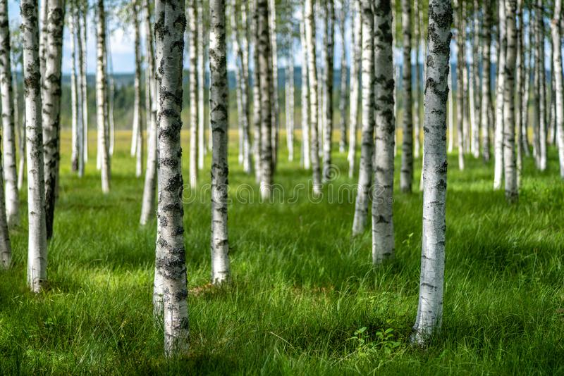 Summer view of a grove of birch trees with green grass forest f. Beautiful summer view of a grove of birch trees with green grass forest floor and sunshine stock photos